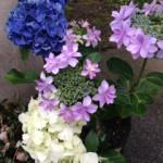 160606紫陽花